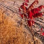 Frost-touched sumac, Iowa County, Wisconsin