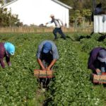 Farm working picking in field