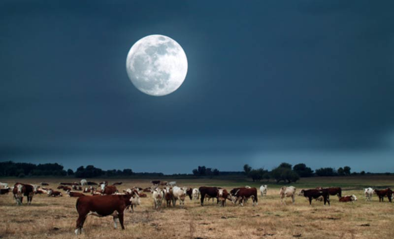 cows in the moonlight